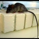Agar Rumah Bebas dari Tikus, Ini Rahasianya!