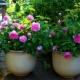 Cara Menanam dan Merawat Bunga Mawar di Pot