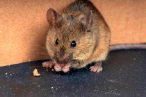 agar-plafon-tidak-ada-tikus