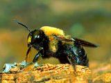 cara-membasmi-lebah-kayu