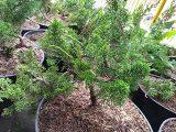 cara-membuat-bonsai