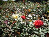 cara-menanam-bunga-mawar
