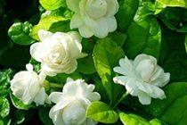 cara-menanam-bunga-melati