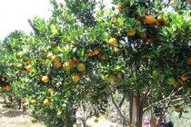 cara-menanam-jeruk