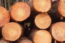 ciri-ciri-kayu-pinus