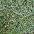 jenis-jenis-rumput-peking
