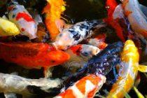kolam-ikan-sehat
