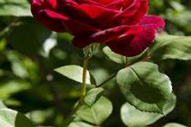 menanam-bunga-mawar-merah