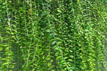 pagar-rumah-alami