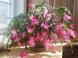 tanaman-rajin-berbunga