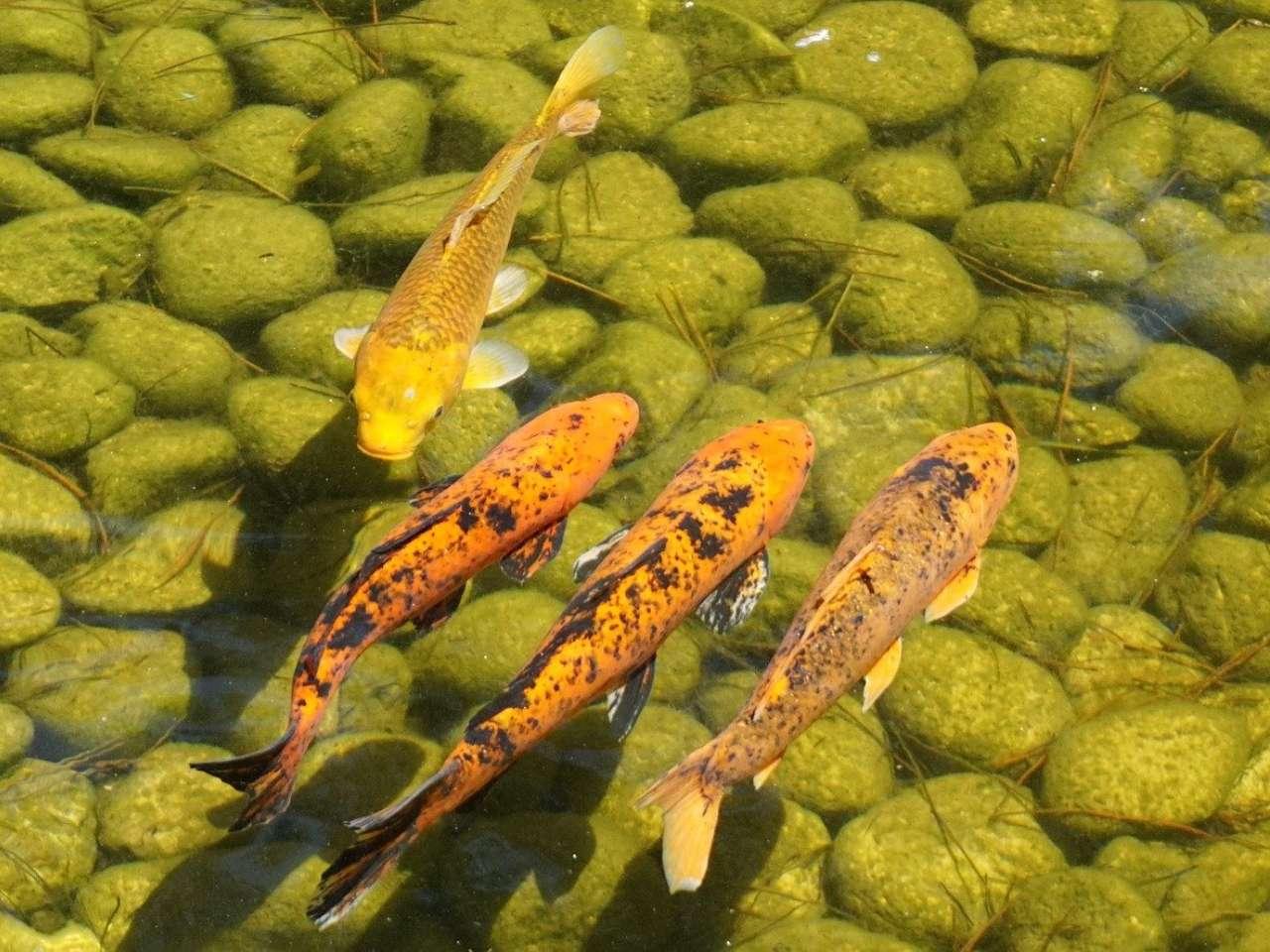5 Masalah Yang Sering Menimpa Kolam Ikan Koi Dan Cara Mengatasinya Arafuru