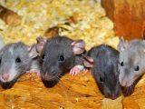 agar-rumah-bebas-tikus
