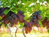 cara-memangkas-tanaman-anggur