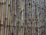 cara-memilih-bambu