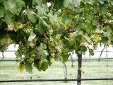 cara-menanam-anggur