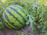 cara-menanam-biji-semangka