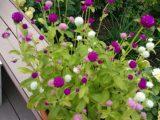 cara-menanam-bunga-kenop