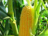 cara-menanam-jagung-manis
