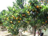 cara-menanam-jeruk-nipis