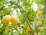 cara-menanam-lemon