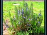 cara-menanam-rosemary
