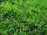 cara-menanam-rumput-jepang