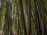 cara-menebang-pohon-bambu