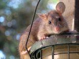 cara-mengusir-tikus-rumah