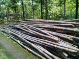 ciri-ciri-bambu-apus