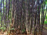 jenis-bambu-wulung