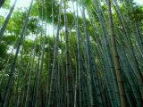 jenis-jenis-tanaman-bambu