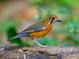 jenis-kelamin-burung-anis-merah