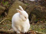kelinci-jantan-dan-betina