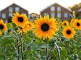 manfaat-bunga-matahari-untuk-manusia