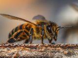 membasmi-lebah-kayu