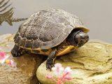 membuat-kolam-kura-kura-air