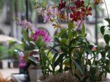 menanam-anggrek-dalam-pot