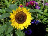 menanam-bunga-matahari-di-pot