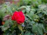 menanam-bunga-mawar-di-pot