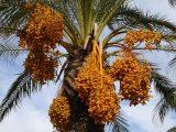menanam-kurma-di-indonesia
