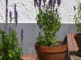 menanam-lavender-di-pot