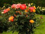 menanam-mawar-dengan-cangkok