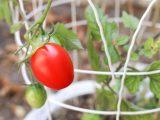 menanam-tomat-di-pot