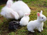 merawat-kelinci-anggora-yang-baik