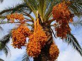 pohon-kurma-di-indonesia