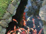 skema-filter-kolam-ikan-koi