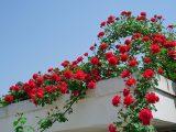 tanaman-rambat-berbunga
