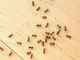 tips-mengusir-semut